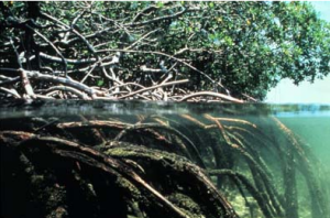Projets de lutte contre l'érosion du littoral quartier Ayakapé dans Espace Projets Mangrove-300x198